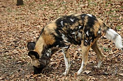 Image of an African Wild Dog