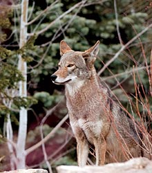 Image of a Red Wolf