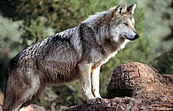 Image of a Mexican Wolf