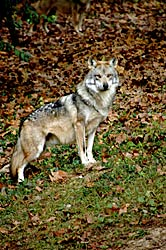 Image of Mexican Gray Wolf