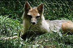 Image of a Swift Fox