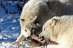 Image of an Arctic Wolf