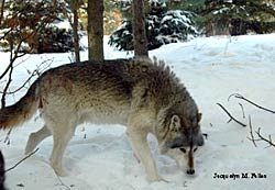 Image of a wolf: Orion