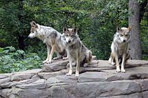 Image of three wolves