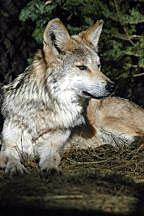 Image of a female wolf